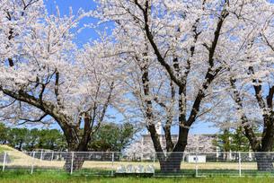 桜の花がある風景の写真素材 [FYI04833250]