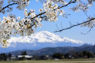 桜の花と鳥海山の写真素材 [FYI04833251]