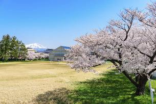 桜の花と校舎の写真素材 [FYI04833254]