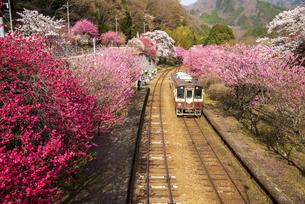 わたらせ渓谷鐵道 満開の桜とハナモモの神戸駅に入線する列車 上りの写真素材 [FYI04833297]
