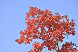 メグスリノキ紅葉の写真素材 [FYI04833404]