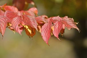 ヤマボウシ紅葉の写真素材 [FYI04833406]