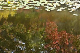 水面に映るモミジの写真素材 [FYI04833459]