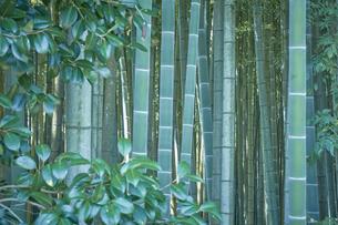 生い茂った竹林の写真素材 [FYI04833486]