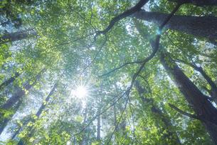 森の中から見上げる太陽の写真素材 [FYI04833490]