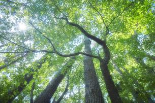 森の中から見上げる太陽の写真素材 [FYI04833491]
