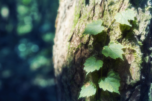 木の幹に絡んだ蔦の葉っぱの写真素材 [FYI04833492]
