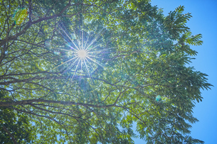 下から見上げた木と太陽の写真素材 [FYI04833494]