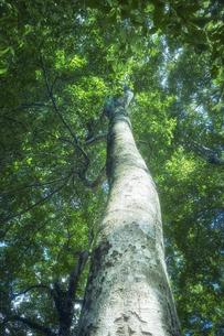 そびえ立つブナの木の写真素材 [FYI04833498]