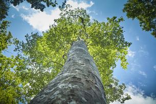 そびえ立つブナの木の写真素材 [FYI04833501]