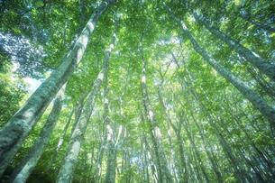 下から見上げたブナ林の写真素材 [FYI04833503]