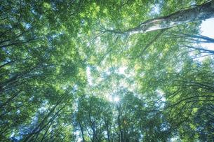 下から見上げたブナ林の写真素材 [FYI04833504]