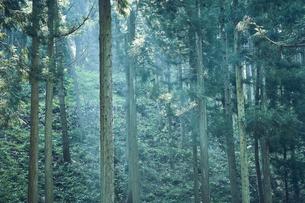 生い茂った杉林の写真素材 [FYI04833524]