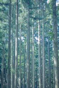 杉林の風景の写真素材 [FYI04833526]