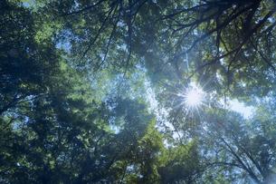 下から見上げる茂った木と木漏れ日の写真素材 [FYI04833552]
