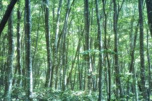 生い茂ったブナ林の写真素材 [FYI04833553]