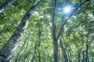 生い茂ったブナ林の写真素材 [FYI04833554]