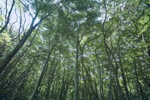 生い茂ったブナ林の写真素材 [FYI04833555]