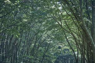 生い茂ったブナ林の写真素材 [FYI04833556]