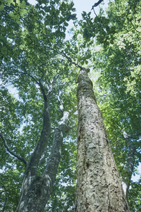 そびえ立つブナの木の写真素材 [FYI04833559]