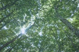 下から見上げたブナ林の写真素材 [FYI04833560]