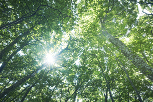 下から見上げたブナ林の写真素材 [FYI04833561]