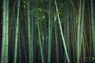 生い茂る竹林の写真素材 [FYI04833568]
