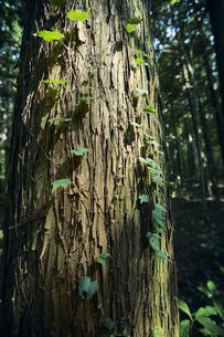 蔦が絡まった杉の木の写真素材 [FYI04833570]