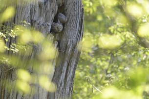 巣穴から飛び出そうとするエゾフクロウの親鳥の写真素材 [FYI04833615]