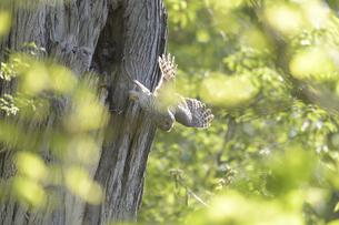 巣穴から飛び出すエゾフクロウの親鳥の写真素材 [FYI04833619]