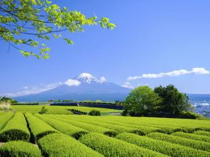 静岡県 新芽の茶畑と富士山の写真素材 [FYI04833731]