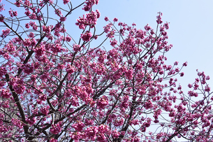 ヒカンザクラ(緋寒桜)別名カンヒザクラ(寒緋桜)でバラ科サクラ属の野生種のサクラの花の写真素材 [FYI04833749]