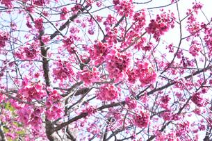 ヒカンザクラ(緋寒桜)別名カンヒザクラ(寒緋桜)でバラ科サクラ属の野生種のサクラの花の写真素材 [FYI04833750]