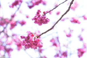 ヒカンザクラ(緋寒桜)別名カンヒザクラ(寒緋桜)でバラ科サクラ属の野生種のサクラの花の写真素材 [FYI04833752]