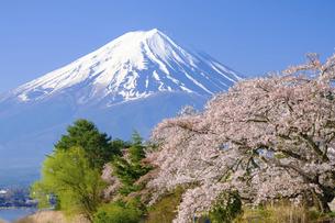 山梨県 河口湖の桜と富士山の写真素材 [FYI04833940]