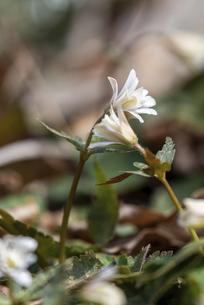 寄り添う咲きかけのユキワリイチゲの花の写真素材 [FYI04833982]