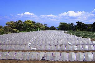 神奈川県 三浦半島の温室栽培の写真素材 [FYI04834085]