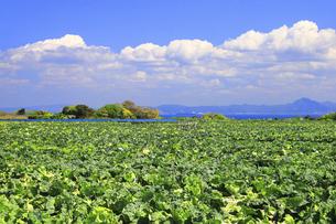 神奈川県 三浦半島のキャベツ畑の写真素材 [FYI04834089]