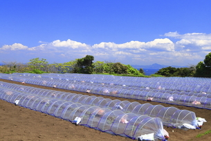 神奈川県 三浦半島の温室栽培の写真素材 [FYI04834101]