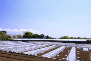 神奈川県 三浦半島の温室栽培の写真素材 [FYI04834110]