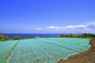 神奈川県 三浦半島の防護ネット栽培の写真素材 [FYI04834113]
