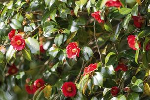 満開の赤い椿の花の写真素材 [FYI04834185]