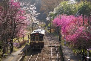 西日が差し込む谷間の桜や花桃などとローカル鉄道列車 わたらせ渓谷鉄道神戸駅よりの写真素材 [FYI04834234]