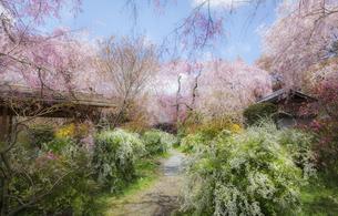 京都 原谷苑の枝垂れ桜と春の花の写真素材 [FYI04834239]