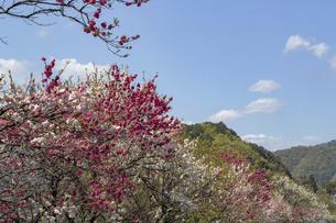 満開の花桃の写真素材 [FYI04834307]