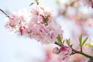 満開の花桃の写真素材 [FYI04834308]