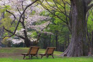桜咲く春の代々木公園の写真素材 [FYI04834371]