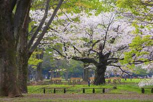 桜咲く春の代々木公園の写真素材 [FYI04834375]