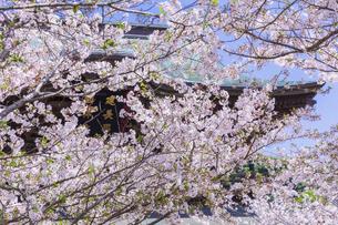 桜満開の春の建長寺の写真素材 [FYI04834382]