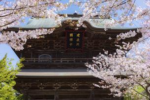 桜満開の春の建長寺の写真素材 [FYI04834383]